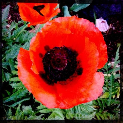 red poppy photo
